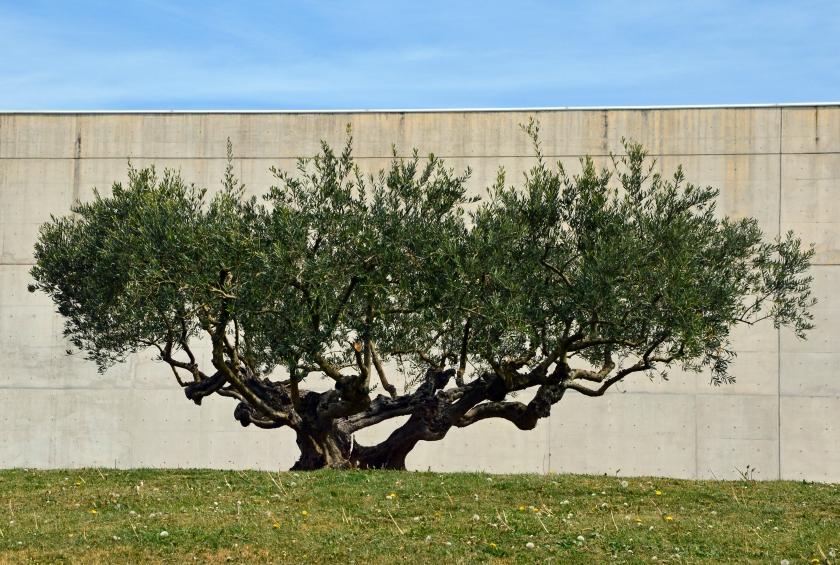 olivetree 4-2015