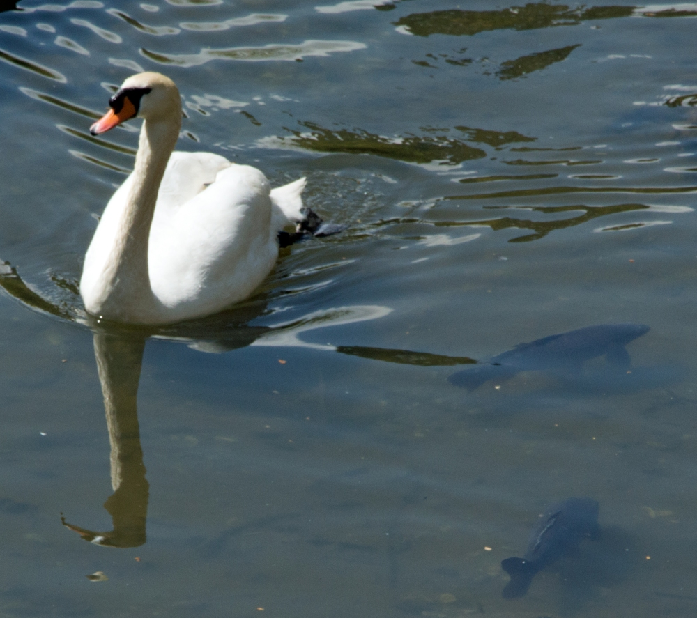swan and fishes 2