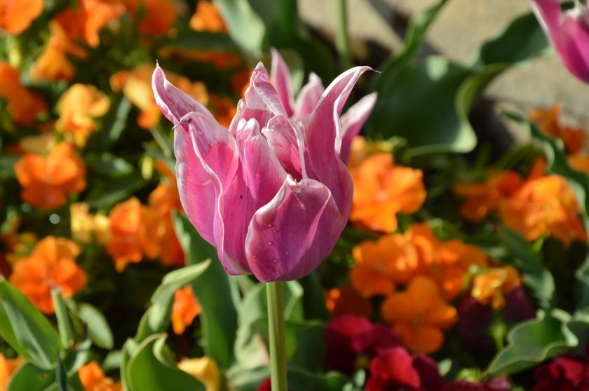 tulip1 2015