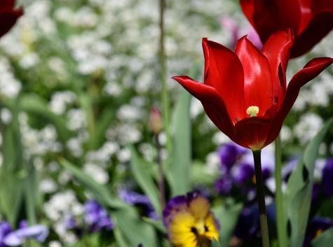 tulipanes rojos 1