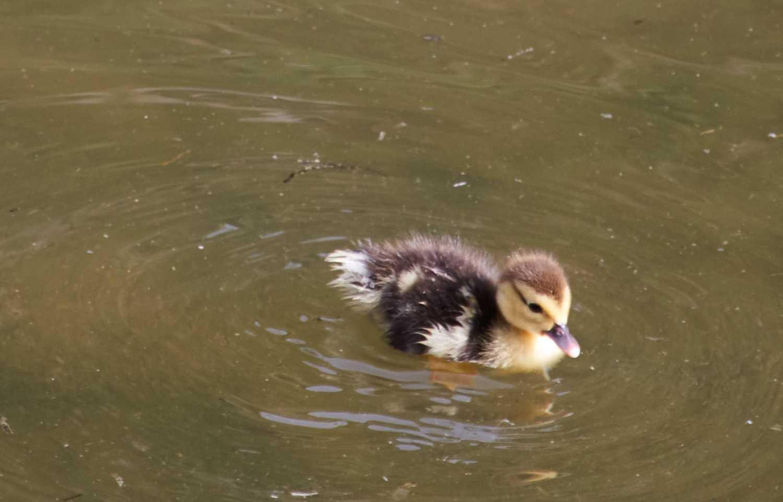 ducklin